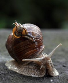 Snail on snail. #animals #insects #snail