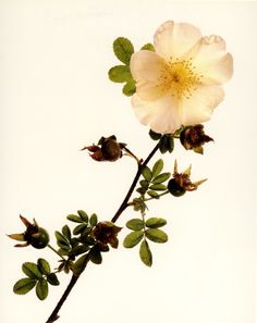 Old Fashioned Single Rose by Irvin Penn Engraving Art, Photo Engraving, Botanical Flowers, Botanical Prints, History Of Photography, Art Photography, Fine Art Photo, Photo Art, Irving Penn