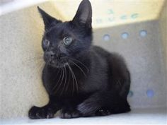 Kitten With URI at BACC! The Quintessential & Quaint QUISHA!. QUISHA is a 10 month old kitten that has moderate to severe conjunctivitis in her right eye. She's a bit nervous at the shelter and would do best in a home with an experienced foster or adopter.
