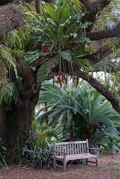 Under an old Live Oak tree loaded with epiphytes. Under an old Live Oak tree load Tropical Landscaping, Landscaping Plants, Tropical Garden, Tropical Plants, Landscaping Ideas, Garden Trees, Garden Planters, Diy Garden, Teak