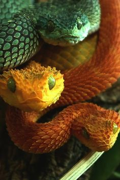 Scary creatures from the viper pecies...
