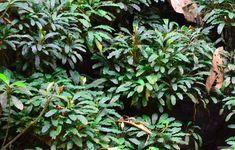 bucephalandra arrogant blue - Google Search