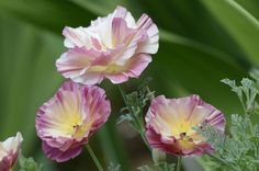 Eschscholzia californica 'Champagne and Roses' 01
