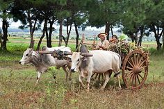 Family on a wooden wheeled bullock cart drawn by white bullocks and driven by a woman, Kalaw hills, southern Shan state, Myanmar (Burma), Asia Bullock Cart, Village Photography, Inle Lake, Picnic Spot, Old Pictures, Cattle, Beautiful Pictures, Scenery, Wildlife