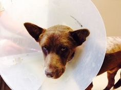Brady is now in recovery and needs a foster
