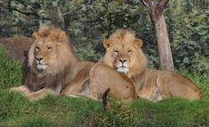 lions - Google Search