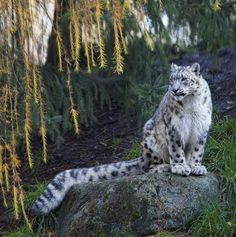Snow leopard has such a beautiful tail