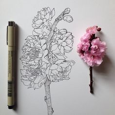 Drawing blossoms with ink - the illustration looks better than the real thing! Plant Drawing, Painting & Drawing, Botanical Art, Botanical Illustration, Botanical Drawings, Landscape Illustration, Illustration Art, Drawn Art, Hand Drawn