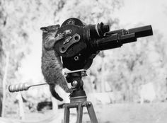 A pet ring tailed possum examines department of information movie camera somewhere in north Australia, 1943