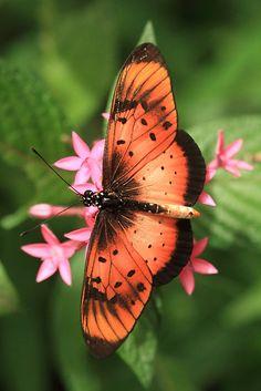 ༺ ʚįɞ Beautiful ༻ :: Natal Acraea Butterfly (St Lucia), South Africa - by Michael Field Papillon Butterfly, Butterfly Kisses, Butterfly Flowers, Orange Butterfly, Types Of Butterflies, Flying Flowers, Beautiful Bugs, Beautiful Butterflies, Moth Caterpillar