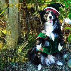 Gnome Alone for St. Patrick's Day...New in the life of Asha...!