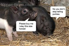 Micro Pigs For Sale | How Big Do Micro Pigs Get : Micro Pig Height & Size Explained
