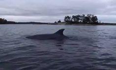 Delfiinejä Itämeressä!