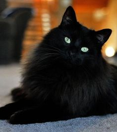 624 Best Black Cats Images Cats Black Cat Crazy Cats