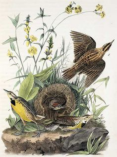 Meadowlarks, from John James Audubon, The Birds of America, 1840-44.