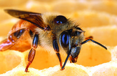 Deadly parasitic Varroa mite on the back of a honey bee. Scientists have developed a new bait that may help control varroa mites, the top pest of honey bees. Feeding Bees, Propolis, Homestead Survival, Survival Food, Survival Skills, Save The Bees, Bees Knees, Rheumatoid Arthritis, Bee Keeping