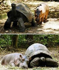 Friends - Orphaned by a tsunami, Owen the hippo was moved to Haller Park in Kenya and placed in a enclosure wi... - Mom.me