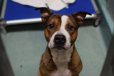 TO BE DESTROYED 02/05/15 Brooklyn Center My name is JACK. My Animal ID #A1026573  Male brwn/wht bully mix. 3 YEARS old STRAY***FRIENDLY HANDSOME PUP -NOW CODE RED!!! Volunteeers say: Jack is a very sweet boy that was VERY GOOD for shelter staff when he arrived. He has allowed all kinds of handling. Jack would love a soft place to lay his head. Isn't there anyone that will give this handsome fellow the home he's been longing for? HOW ABOUT YOU???