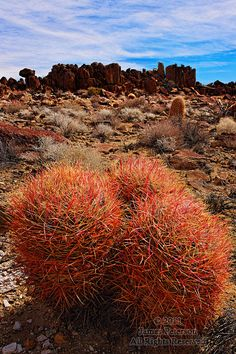 Red Barrel Cacti, Mojave Desert, California.  Every time I go there, I discover something new to love.