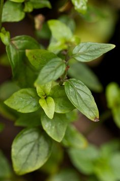 River Mint (Mentha australis), which we use to make cups of tea | A Backyard Obsession