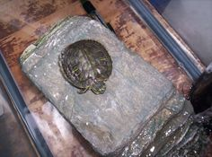 How to Clean a Turtle Tank. If you own an aquatic turtle, you'll need to do a full cleaning of the tank a little more than once a month. Keeping the water clean for drinking and swimming is essential for the turtle's health. Turtle Aquarium, Turtle Pond, Turtle Care, Pet Turtle, Sweet Turtles, Turtle Homes, Classroom Pets, Happy Turtle, Turtle Habitat