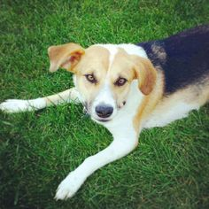 Adopted 8/14! Maya is still waiting to meet you! #adoptable #beagle mix @FPOPets in #Peoria. Good w/dogs and kids! www.fosterpetoutreach.org