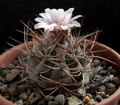 Gymnocalycium coloradense