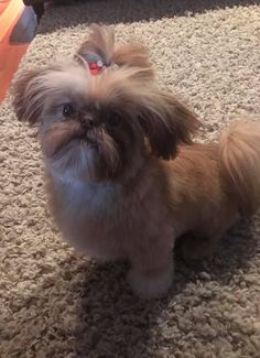 This little Imperial is from Glory Ridge Shih-Tzu. Shitzu Puppies, Cute Puppies, Therapy Dogs, Shih Tzu, Dog Love, Pets, Animals, Animales, Animaux