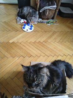 Maine Coon Spirit und Mystery warten auf Action Mystery, Maine Coon, Spirit, Cats, Animals, Maine Coon Cats, Kunst, Gatos, Animais