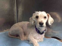 SAFE❤️❤️ 9/14/16  LISTED TO BE MURDERED!! Brooklyn Center My name is GARRY. My Animal ID # is A1088679. I am a neutered male white poodle min mix. The shelter thinks I am about 3 YEARS old. I came in the shelter as a STRAY on 09/06/2016 from NY 11207, owner surrender reason stated was STRAY.