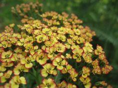 Common Yarrow 'Tricolor' (Achillea millefolium)