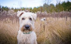Soft Coated Wheaten Terrier - this is what kind of dog I want