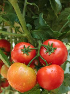 Fruit and Vegetable Gardening A-Z: Tomatoes