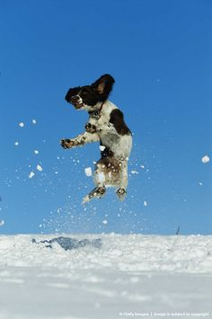 Springer spaniel puppy jumping in snow, in mid-air
