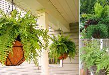 Best Hanging Ferns   Ferns for Hanging Basket