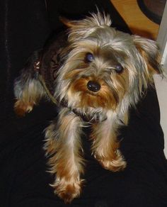 Yorkie dog Eli looks like he is posing for a senior picture!! #puppy #yorkshire terrier www.fetchdogfashions.com