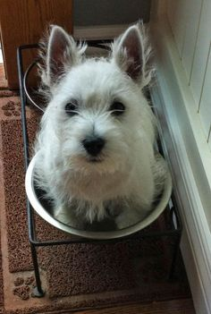 "Charlie the West Highland Terrier: ""I'm ready for my dinner - whatcha waiting for?"""