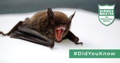 #DidYouKnow Bats are amongst the gentlest wild mammals in the world. There is such a thing as a vampire bat – but it is only found in one place in South America, weighs only 50g and it draws a little blood from the legs of cattle (never from humans!). #ServiceMasterSA #Pests #PestControl #SouthAfrica Family Halloween, Halloween 2017, Vampire Bat, South America, Mammals, Have Fun, Rodents, Kids, Cattle