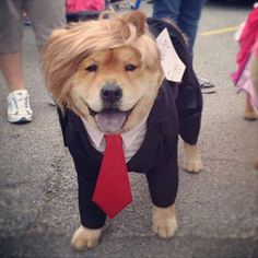 Pin for Later: 15 of the Best DIY Halloween Dog Costumes Out There Dogald Trump (Diy Dog Halloween) Funny Dogs, Cute Dogs, Funny Animals, Cute Animals, Funny Memes, Hilarious, Pet Halloween Costumes, Pet Costumes, Costume Ideas