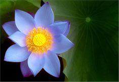 아름다운 연꽃 beautiful lotus : 네이버 블로그