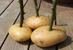 Αυτό το Απίστευτο Τρικ θα Γεμίσει τη Βεράντα σας με Τριαντάφυλλα! Growing Roses, Growing Herbs, Growing Vegetables, Fruits And Vegetables, Compost, Fondant Potatoes, Hazelnut Meringue, How To Grow Watermelon, Potato Patties