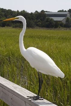 Standing Egret overlooking marshland
