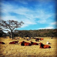 Cattle Wintertime Sky Cloud - Sky Large Group Of Animals Farmland Countryside Royalty Free Pictures, Winter Is Coming, Winter Time, Cattle, Countryside, Clouds, Sky, Explore, Group