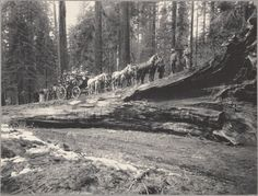 Yosemite stage on Fallen Monarch, Mariposa Grove