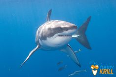 Lo Squalo Bianco.  The Great White Shark