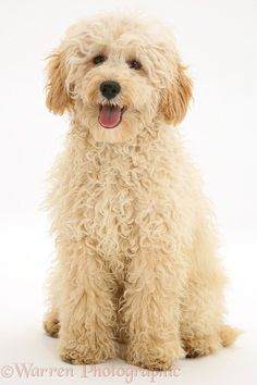 Photograph of Cream Miniature Poodle, Rodney, sitting. Rights managed white background Dog image. Poodle Cuts, Poodle Mix, Poodle Puppies, Perros French Poodle, Goldendoodle Haircuts, Mini Goldendoodle, Cute Puppies, Cute Dogs, Mini Poodles