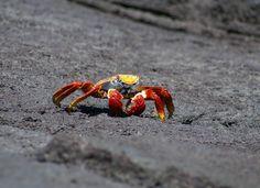 Galapagos Crab scuttling across rocks