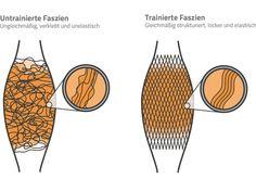 Untrainierte und trainierte Faszien und ihre Struktur im Muskel. Trainingsgerät für Faszientraining gibt es hier: http://www.claptzu.de/zubehoer/faszien-therapie.html