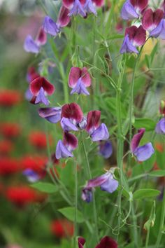 Buy spencer sweet pea seed Matucana Lathyrus odoratus 'Matucana': Delivery by Crocus.co.uk