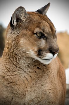 """earthsfinest: """" Eyes Glazed Over by Scott Denny This is Dago a cougar that lived at the Bay Beach Wildlife Sanctuary for 18 years. He was brought to the Sanctuary by local authorities after being. Beautiful Cats, Animals Beautiful, Big Cats, Cats And Kittens, Animals And Pets, Cute Animals, Pretty Animals, Wild Animals, Grand Chat"""
